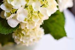 vanlig hortensiawhite Arkivfoto