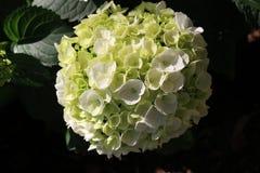 vanlig hortensiawhite royaltyfria foton