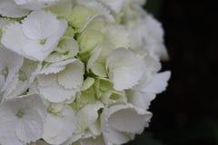 vanlig hortensiawhite royaltyfria bilder