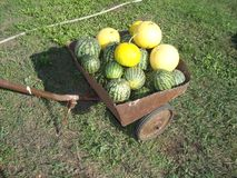 Vanlig lat för vattenmelon Tusen för Citrúllus laná är en årlig ört, art av släktet vattenmeloncitrullusen av pumpafamilen arkivfoton