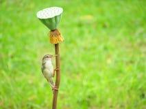 Vanlig Prinia på en lotusblomma Royaltyfri Foto