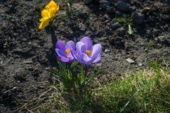 Vanlig purpurfärgad krokus i tidigt vårsolljus Arkivfoton