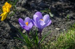 Vanlig purpurfärgad krokus i tidigt vårsolljus Arkivbilder