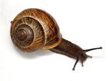 vanlig snail Fotografering för Bildbyråer
