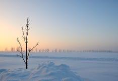 vanlig snowtree Royaltyfria Bilder