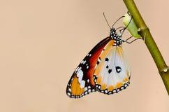 vanlig tiger för fjäril royaltyfria foton