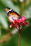 Vanlig tigerfjäril arkivbilder