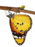 Vanlig tigerfjäril, Danauschrysippus, hängningar på en filial som isoleras på vit bakgrund Arkivbild