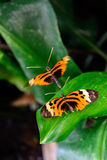 Vanlig tigerfjäril på ett blad Royaltyfria Foton
