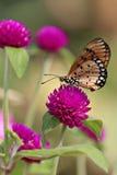 Vanlig tigerfjäril på jordklotamaranth eller ungkarlknappflowe Arkivfoton