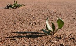 vanlig växt Royaltyfri Bild