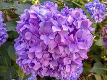 Vanliga hortensian är blå och purpurfärgad Blommor blommar i vår och sommar i stadgataträdgård fotografering för bildbyråer