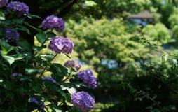 Vanliga hortensian av parkera Fotografering för Bildbyråer