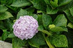 Vanliga hortensian blommar lilor Fotografering för Bildbyråer