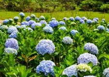 Vanliga hortensian blommar på den soliga dagen i en trädgård Arkivbilder