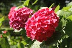 Vanliga hortensian den röda vanliga hortensian, röd blomma för dubblett, blommar Royaltyfri Bild