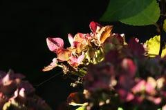 Vanliga hortensian torkar upp i solstrålar royaltyfri fotografi