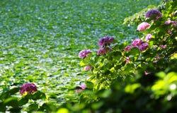 Vanliga hortensian vid dammet Arkivfoto