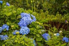 Vanliga hortensior den härliga busken av vanliga hortensian blommar i en trädgård Royaltyfria Bilder