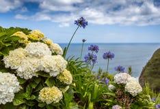 Vanliga hortensior den härliga busken av vanliga hortensian blommar i en trädgård Arkivbild
