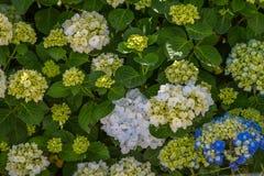 Vanliga hortensior den härliga busken av vanliga hortensian blommar i en trädgård Royaltyfri Bild