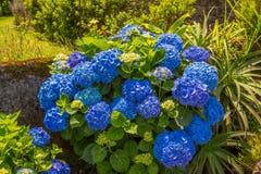 Vanliga hortensior den härliga busken av vanliga hortensian blommar i en trädgård Arkivfoto
