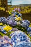 Vanliga hortensior den härliga busken av vanliga hortensian blommar i en trädgård Royaltyfria Foton