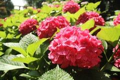 Vanliga hortensior den röda vanliga hortensian, röd blomma, blommar Royaltyfri Foto