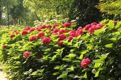 Vanliga hortensior den röda vanliga hortensian, röd blomma, blommar Arkivbilder