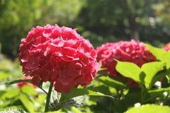 Vanliga hortensior den röda vanliga hortensian, röd blomma, blommar Fotografering för Bildbyråer