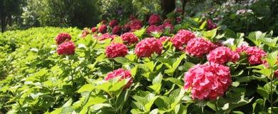 Vanliga hortensior den röda vanliga hortensian, röd blomma, blommar Arkivfoto