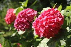Vanliga hortensior den röda vanliga hortensian, röd blomma, blommar Royaltyfri Fotografi