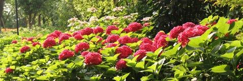 Vanliga hortensior den röda vanliga hortensian, röd blomma, blommar Arkivfoton