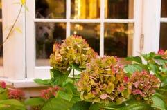 Vanliga hortensior framme av fjärdfönstret med hunden arkivfoton