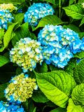 Vanliga hortensior i blom arkivfoto
