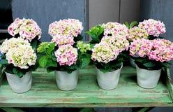 Vanliga hortensior i krukor på en tabell Royaltyfri Foto