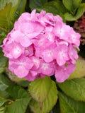 Vanliga hortensior är ett allmänningträdgårdval över hela UK Royaltyfria Bilder