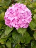 Vanliga hortensior är ett allmänningträdgårdval över hela UK Royaltyfri Bild