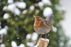 Vanligt Blackbird Royaltyfri Fotografi