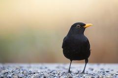 Vanligt Blackbird (Turdusmerulaen) Fotografering för Bildbyråer