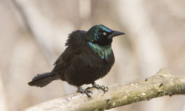 Vanligt grackle Royaltyfria Bilder