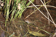 Vanligt groda (Ranatemporariaen) Arkivbilder