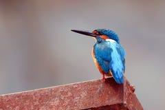 Vanligt Kingfisher arkivfoto