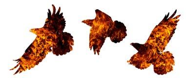 Vanligt korpsvart brand isoleras på vit royaltyfri fotografi