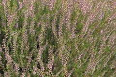 Vanligt ljung (den vulgaris callunaen) fotografering för bildbyråer