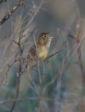 Vanligt male sjunga för gräshoppasångare i busken. Royaltyfri Fotografi
