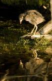 Vanligt Moorhenfågelunge Royaltyfri Foto