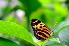 Vanligt tigerfjäril Royaltyfri Foto
