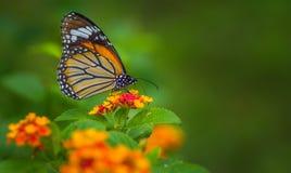 Vanligt tigerfjäril Arkivbilder
