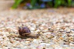 Vanligt trädgårds- snail Fotografering för Bildbyråer